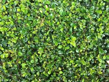 Zieleni hedgerows opuszczają pełnego ramowego tło w ogródzie fotografia stock