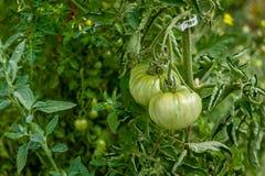 Zieleni heirloom pomidory wiesza na winogradzie obraz stock