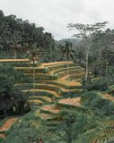 Zieleni i żółci Tegallalang ryż pola w Ubud Bali zdjęcia royalty free