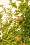 Zieleni i czerwoni jabłka przy drzewem w backlight selekcyjnej ostrości obraz stock