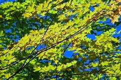 Zieleni i kolor żółty liście obraz royalty free