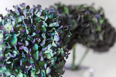 Zieleni i purpurowi hortensja kwiaty Zdjęcia Stock