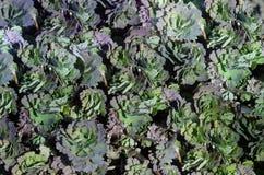 Zieleni i purpury zieleni liści Aquilegia kolombiny tło tekstura Fotografia Stock