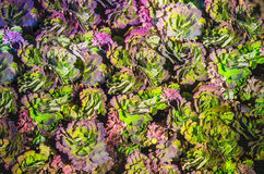 Zieleni i purpury zieleni liści Aquilegia kolombiny tło tekstura Obrazy Stock
