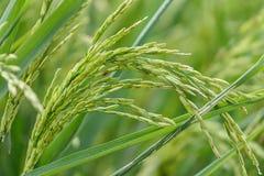 zieleni irlandczyków ryż na zieleni polu Zdjęcia Stock