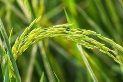 zieleni irlandczyków ryż na zieleni polu Fotografia Royalty Free