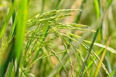 zieleni irlandczyków ryż na zieleni polu Zdjęcie Royalty Free