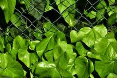 Zieleni ivi liście roślina jako tło obraz royalty free