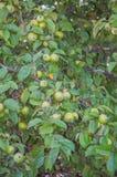 Zieleni jabłka na gałąź Zdjęcia Stock
