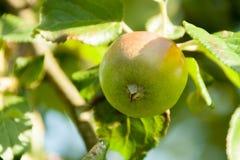 Zieleni jabłka na gałąź przygotowywającej zbierającą Obrazy Stock