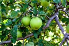 Zieleni jabłka na jabłoni Obraz Stock