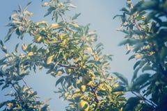 Zieleni jabłka r na drzewnej, stonowanej fotografii, zdjęcie stock