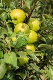 Zieleni jabłka w jabłoni Fotografia Stock