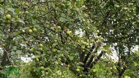 Zieleni jabłka wiesza na gałąź jabłko Niezależni żniwo ogródu warzywa zdjęcie wideo