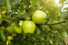 Zieleni jabłka Zdjęcie Stock