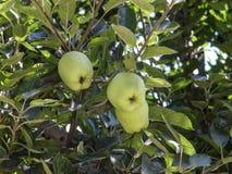 Zieleni jabłka Zdjęcia Stock