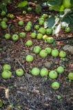 Zieleni jabłka target481_1_ w brudzie Obraz Royalty Free