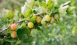 Zieleni jagoda agresty na krzakach podczas maturation_ zdjęcie royalty free