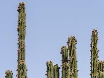 Zieleni kaktusów pola Fotografia Royalty Free