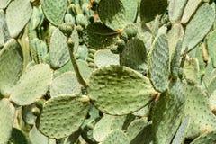 Zieleni kaktusów pola Zdjęcia Royalty Free
