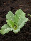 zieleni kapust potomstwa Zdjęcia Stock