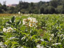 Zieleni kartoflani krzaki kwitnie biel na plantaci Maturation przyszłościowego żniwa Agrarny sektor rolniczy indust zdjęcia stock