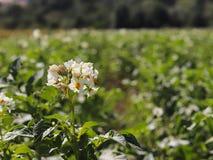 Zieleni kartoflani krzaki kwitnie biel na plantaci Maturation przyszłościowego żniwa Agrarny sektor rolniczy indust zdjęcie royalty free