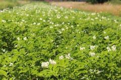 Zieleni kartoflani krzaki kwitnie biel na plantaci Maturation przyszłościowego żniwa Agrarny sektor rolniczy indust zdjęcie stock