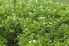 Zieleni kartoflani krzaki kwitnie biel na plantaci Maturation przyszłościowego żniwa Agrarny sektor rolniczy indust fotografia stock
