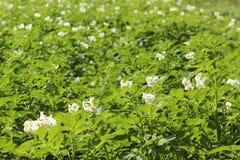 Zieleni kartoflani krzaki kwitnie biel na plantaci Maturation przyszłościowego żniwa Agrarny sektor rolniczy indust obraz royalty free