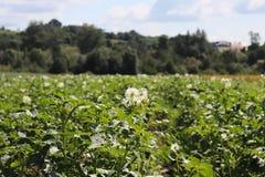 Zieleni kartoflani krzaki kwitnie biel na plantaci Maturation przyszłościowego żniwa Agrarny sektor rolniczy indust obrazy stock