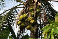 Zieleni Kokosowi drzewka palmowe w Tajlandia Wakacje, natura i ogród, Zdjęcia Stock