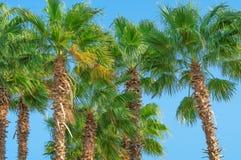 Zieleni korony daktylowe palmy obraz royalty free