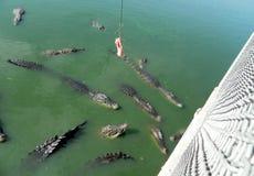 Zieleni krokodyle Tajlandia, żywi w zieleni wodzie Obrazy Royalty Free