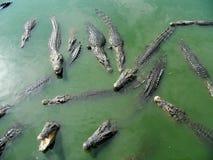 Zieleni krokodyle Tajlandia, żywi w zieleni wodzie Obraz Royalty Free