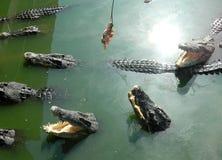 Zieleni krokodyle Tajlandia, żywi w zieleni wodzie Obraz Stock