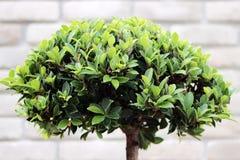 Zieleni krzaków bonsai Zdjęcia Stock