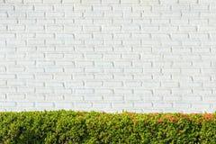 Zieleni krzaków ogrodzenia przy Białymi ściana z cegieł tło Obrazy Royalty Free