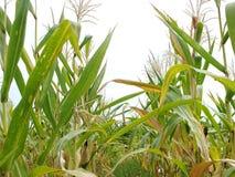 Zieleni kukurydzani pola, biznesy wytwarza dochód, wliczając Azjatyckich rolników obrazy royalty free