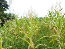 Zieleni kukurydzani pola, biznesy wytwarza doch?d, wliczaj?c Azjatyckich rolnik?w obraz royalty free