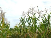 Zieleni kukurydzani pola, biznesy wytwarza doch?d, wliczaj?c Azjatyckich rolnik?w obrazy stock