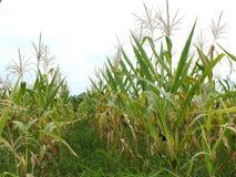 Zieleni kukurydzani pola, biznesy wytwarza doch?d, wliczaj?c Azjatyckich rolnik?w zdjęcie royalty free