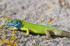 zieleni lacerta jaszczurki viridis Obrazy Stock