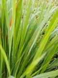Zieleni lemongrass liście zdjęcie royalty free