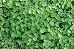 zieleni liść ściana Fotografia Royalty Free