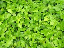 zieleni liść Fotografia Royalty Free