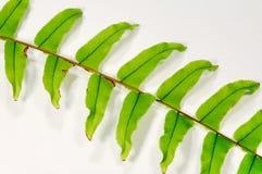 zieleni liść Fotografia Stock