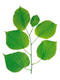 zieleni liść zdjęcie royalty free