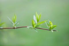 zieleni liść gałązka wiosny parkowa scena wzrostowy pojęcie wizerunek miękkie tło makro- widok, płytka głębia pole Zdjęcie Royalty Free