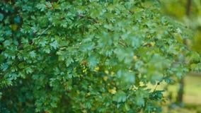 Zieleni liście drzewa w Pogodnej pogodzie zdjęcie wideo